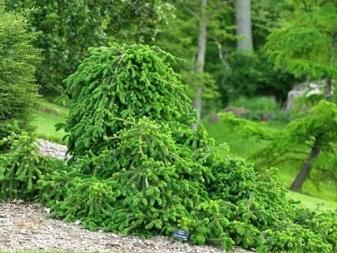 Плакучая ель (24 фото): описание сортов «инверса», «фробург» обыкновенной ели, использование в ландшафтном дизайне, посадка, уход и размножение