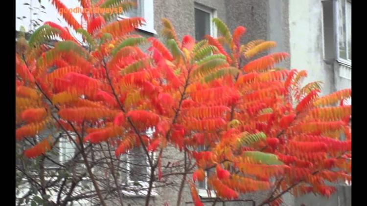 Виды дерева ясень: подробное описание и фото
