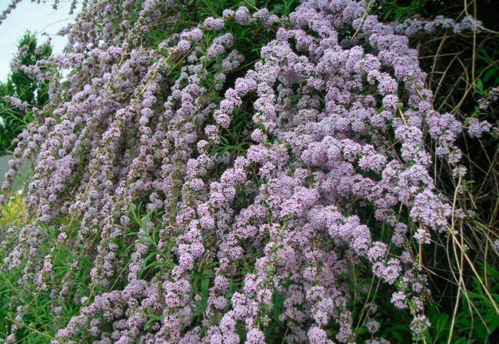 Будлея пурпурная посадка и уход: высадка в грунт обрезка