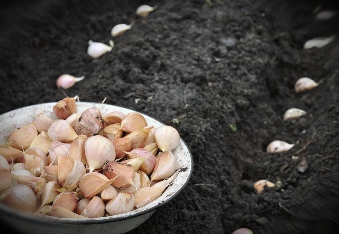 Когда сажать чеснок весной в открытый грунт. хранение и подготовка чеснока | народные знания от кравченко анатолия