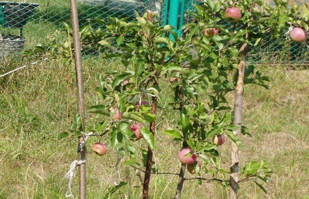 Особенности посадки яблонь в сибири
