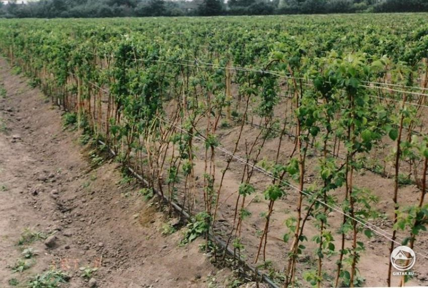 Посадка саженца малины осенью и весной в открытый грунт: сроки, схемы, уход