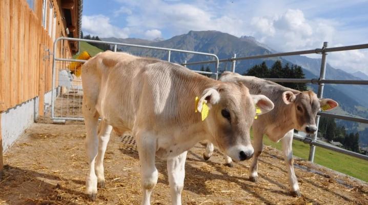 выращивание бычков на мясо как бизнес