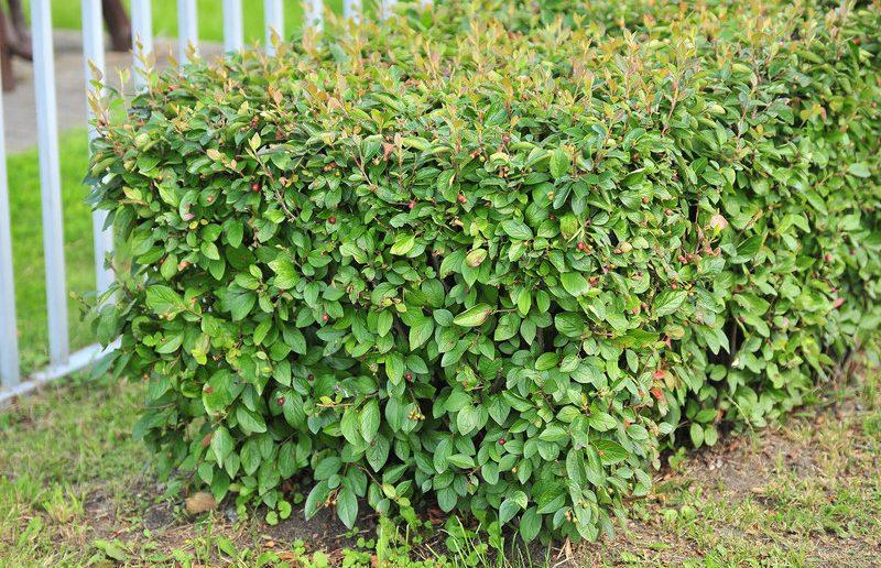 Кизильник: посадка и уход, обрезка, сорта и виды, в том числе горизонтальный и блестящий, как вырастить из семян в домашних условиях