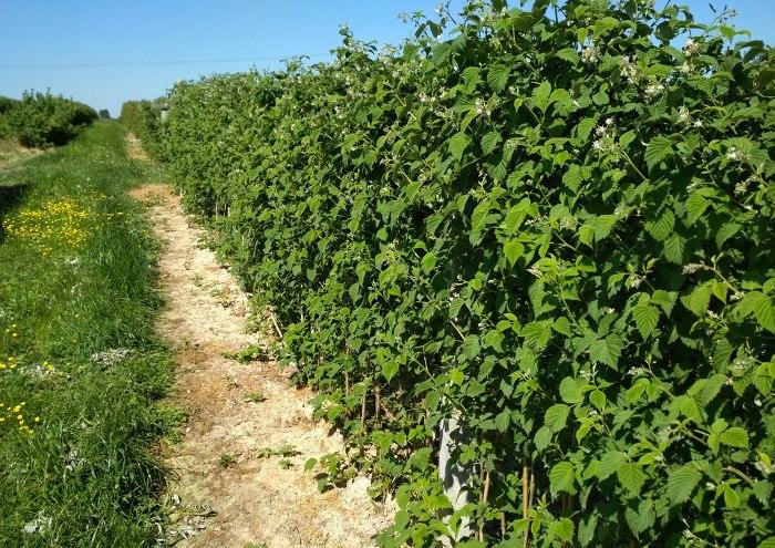 Малина – одна из самых сладких ягод. описание, посадка в открытом грунте, размножение и уход. популярные сорта: от раннеспелых до ремонтантных (25 фото & видео) +отзывы