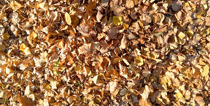 Нужно ли убирать из сада опавшие осенью листья? – дачные дела
