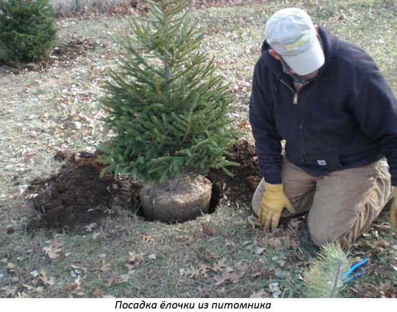 Как правильно посадить саженец ели весной на дачном участке: схемы, правила