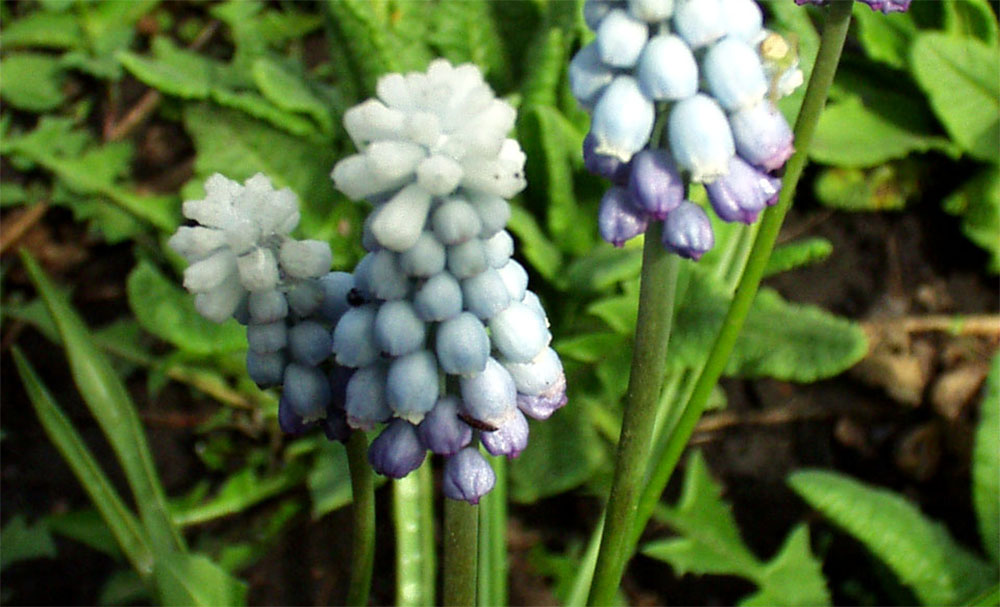 Мускари: выращивание в саду и хранение луковиц