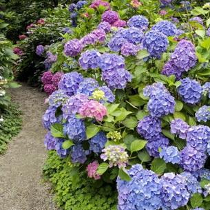 цветы гортензия фото садовая