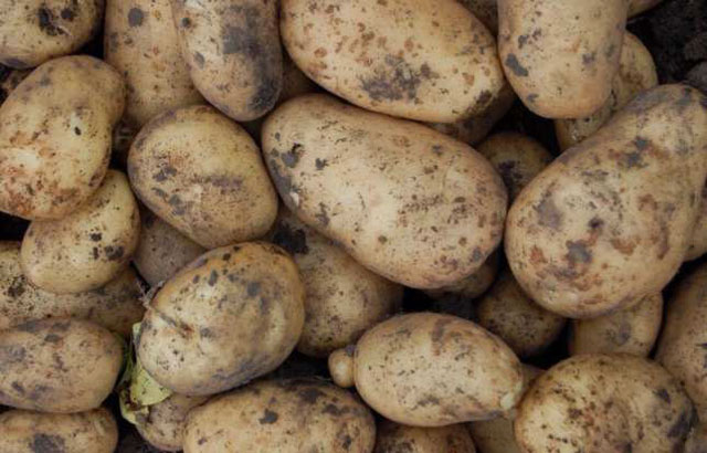 Что учитывать при хранении картофеля в погребе
