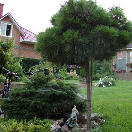 горная сосна в ландшафтном дизайне сада
