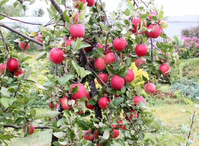 определить сорт яблок по фото