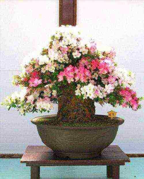 Японская сакура бонсай: фото, уход, как вырастить из семян.