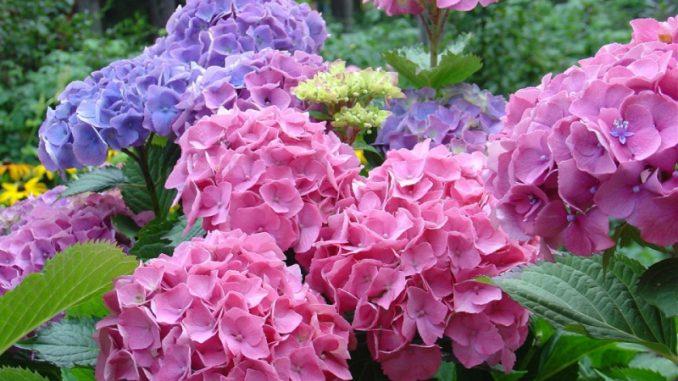 гортензия фото садовая