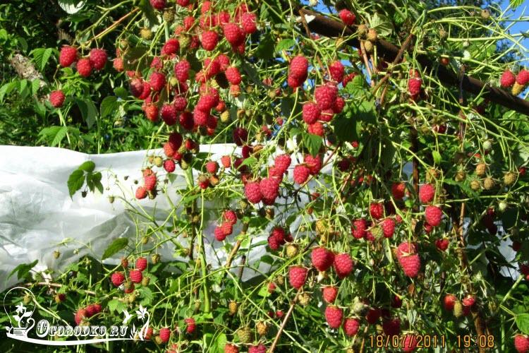 Правила и секреты успешной посадки малины в саду
