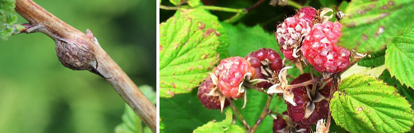 Как избавиться от гусениц на малине