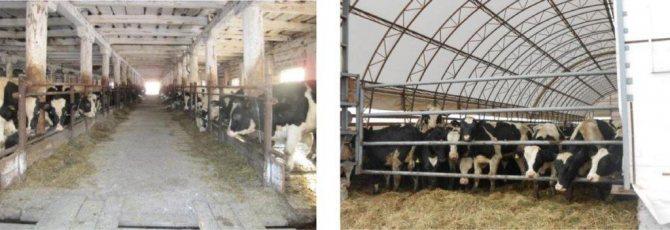 Разведение бычков на мясо: как откормить телят в домашних условиях