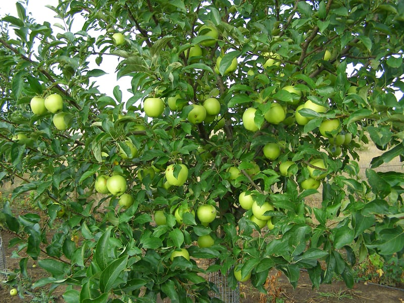 Высокоурожайная яблоня голден делишес: описание, фото