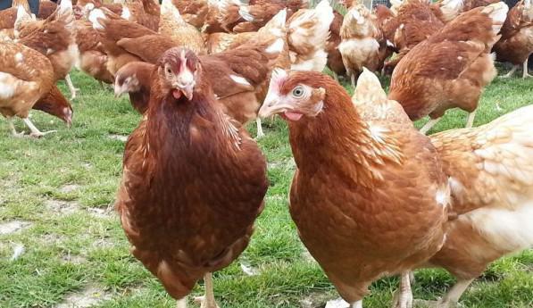 Сниженная яйценоскость у кур