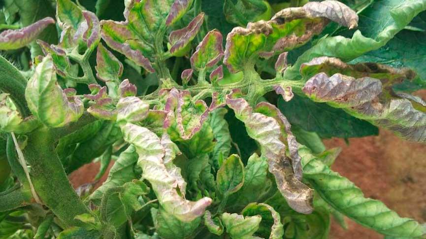 Фитофтороз томатов: описание признаков, лечение | фото