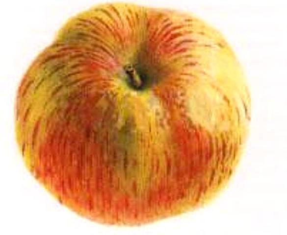 Каштеля сорт яблок