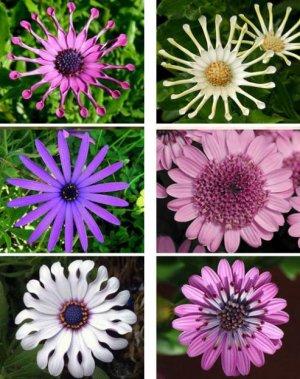 Все об остеоспермуме - фото, посадка и уход, выращивание из семян в домашних условиях