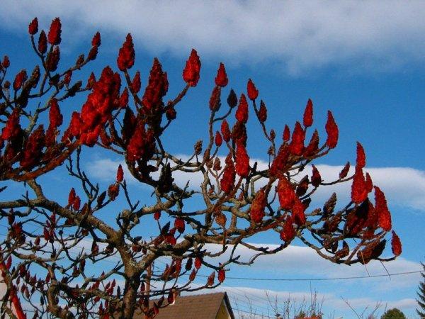 Уксусное дерево посадка и уход в открытом грунте