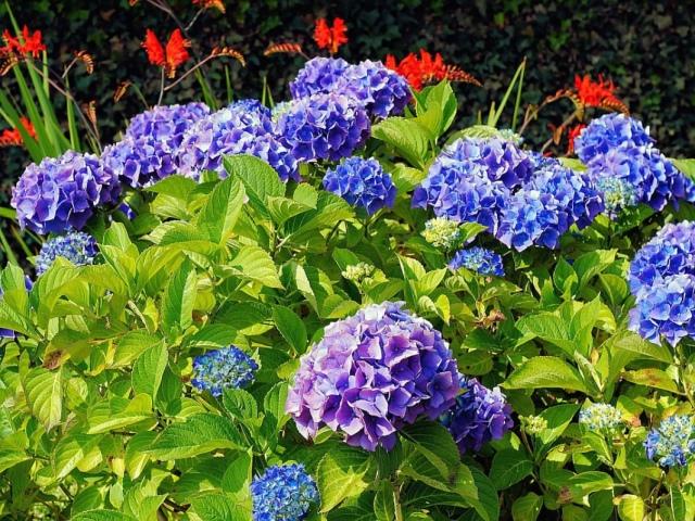 цветок гортензия садовая