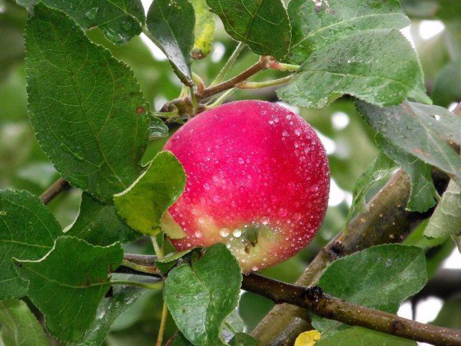 что приготовить из яблок на зиму
