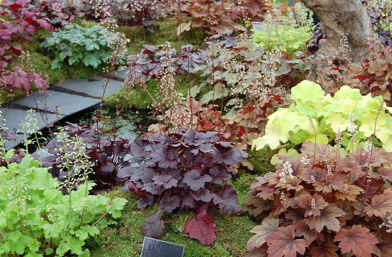 Гейхера (77 фото): описание травянистого растения для открытого грунта. чем отличается от герхереллы? американская и мелкоцветковая герхера