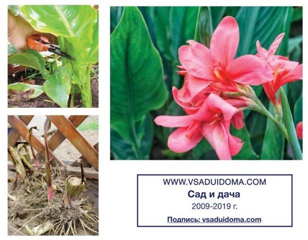 Цветок «канны»: описание, фото, посадка и уход