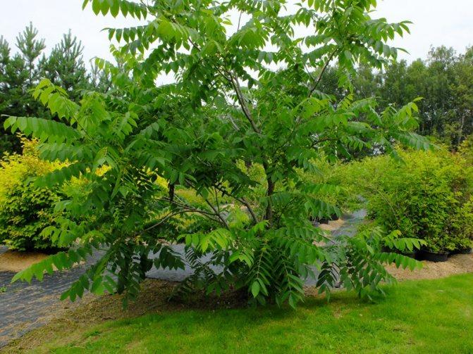 маньчжурский орех фото дерева и плода