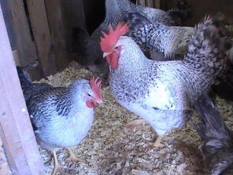 Борковская барвистая: молодая порода кур яичной направленности. отличается развитым инстинктом насиживания, крепким здоровьем и неприхотливостью