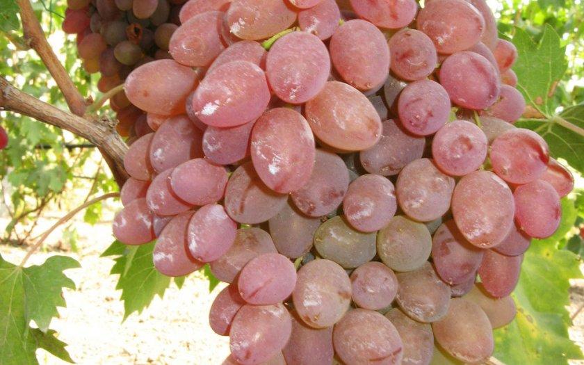 Каталог саженцев винограда красохиной с и