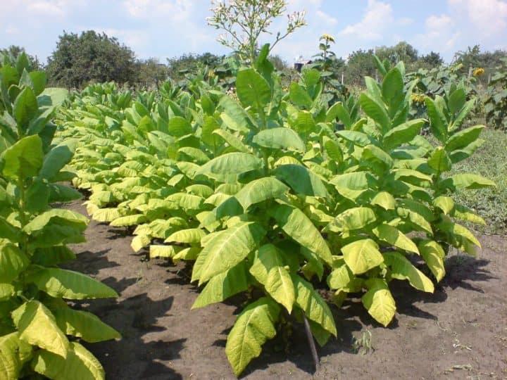 Какой табак стоит выращивать для курения. какой курительный табак лучше выращивать для курения?