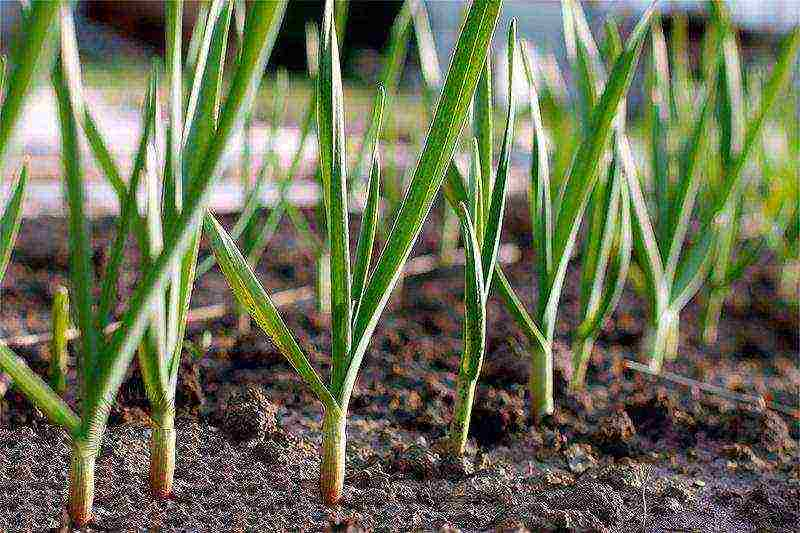 как посадить зимний чеснок