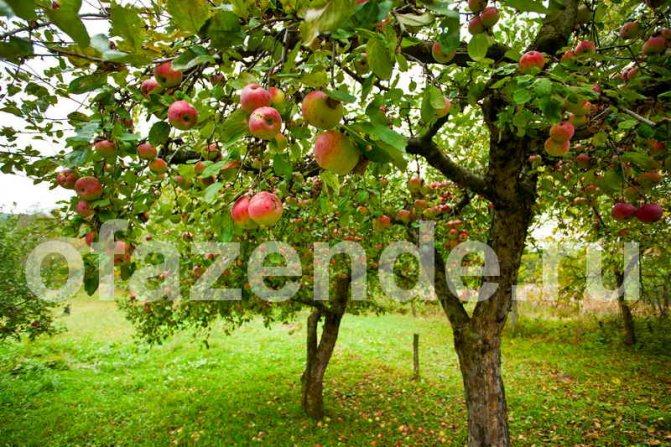 Подкормка яблонь осенью удобрениями – сроки, какие добавки нужны молодым и старым деревьям?