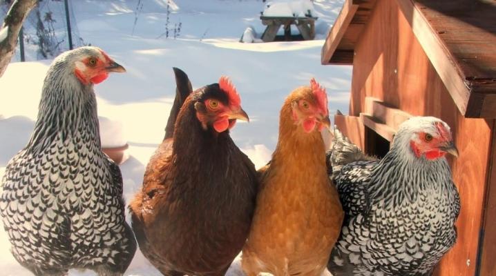 почему куры не несут яйца что делать