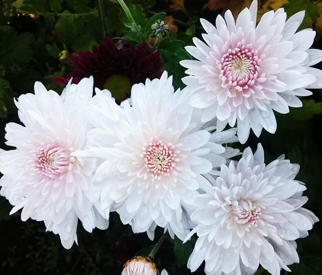 Корейские хризантемы: сорта и их описание с фото