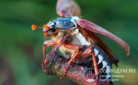 Личинка майского жука (фото): методы борьбы