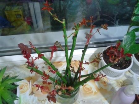 ᐉ выращивание черенков роз в картошке – посадка и уход - roza-zanoza.ru