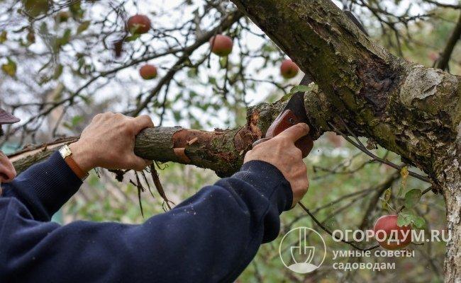Руководство для начинающих: когда сажают яблони осенью?