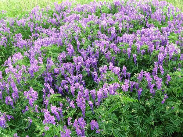 Сидераты: какие лучше сеять в огороде и как воздействуют на почву