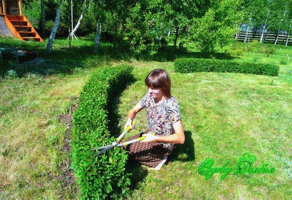 Кизильник блестящий: описание выращивания, сорта