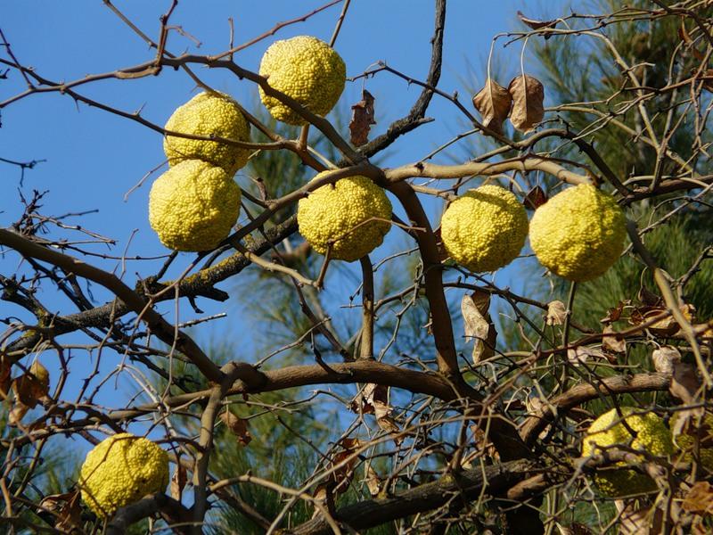 Маклюра (адамово яблоко): лечебные свойства, рецепты для суставов, отзывы