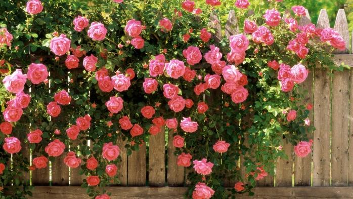 Размножение плетистой розы черенкованием или отводками весной, летом и осенью