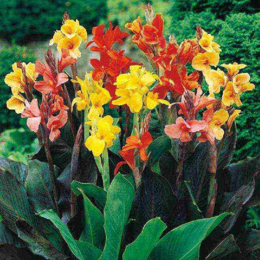Канны: уход, выращивание, хранение – советы начинающим цветоводам