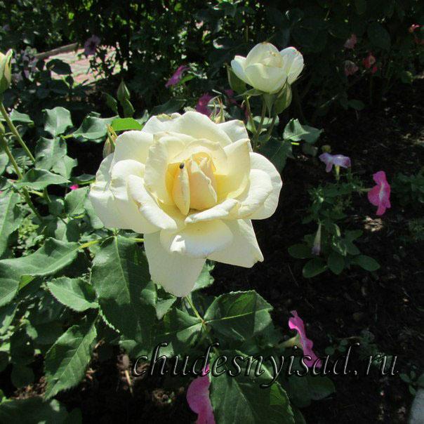 роза поэтри энциклопедия роз