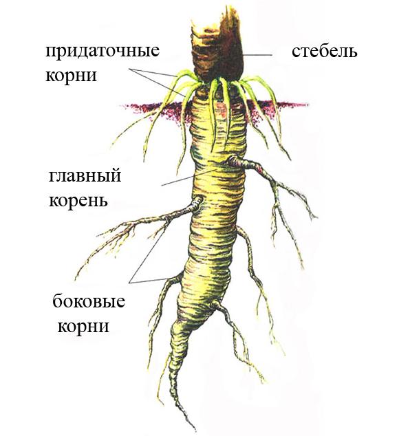 боковые корни это