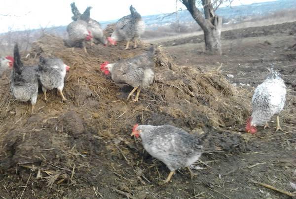 Борковская барвистая порода кур – описание, фото, отзывы
